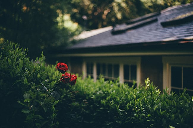 red roses in a garden against a building